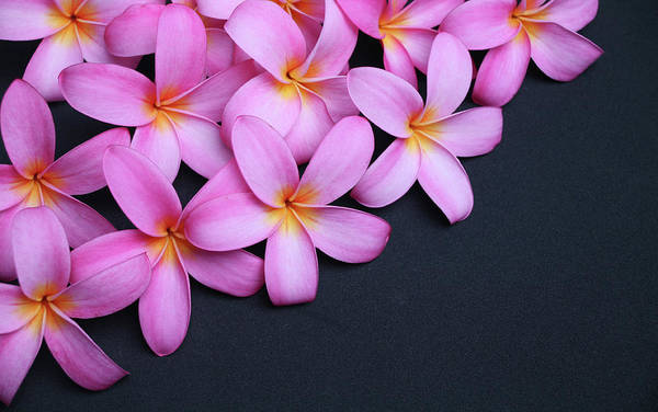 Frangipani Photograph - Plumeria On Black by Focalhelicopter