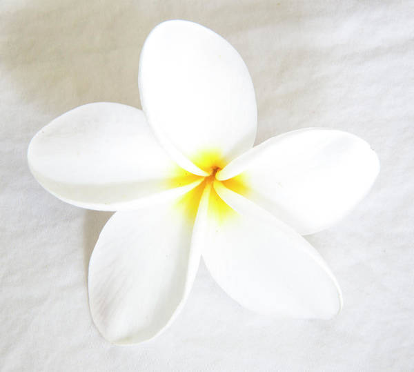 Wall Art - Photograph - Plumeria Tropical Flower White On White by Darrell Gulin