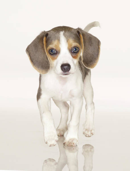 Puppy Photograph - Pocket Beagle Puppy by American Images Inc