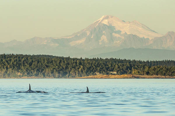 Wall Art - Photograph - Pod Of Resident Orca Whales In Haro by Stuart Westmorland