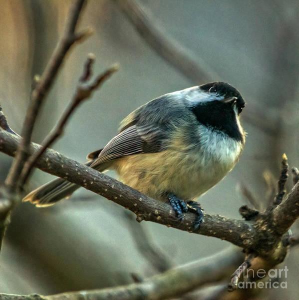 Photograph - Poecile Atricapillus by Janice Pariza