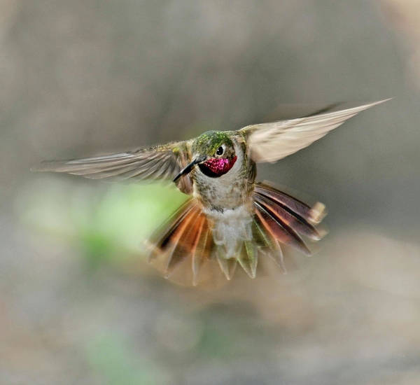 Birds Of Texas Photograph - Poetry In Motion - Hummingbird Hovering by Eastman Photography Views Of The Southwest