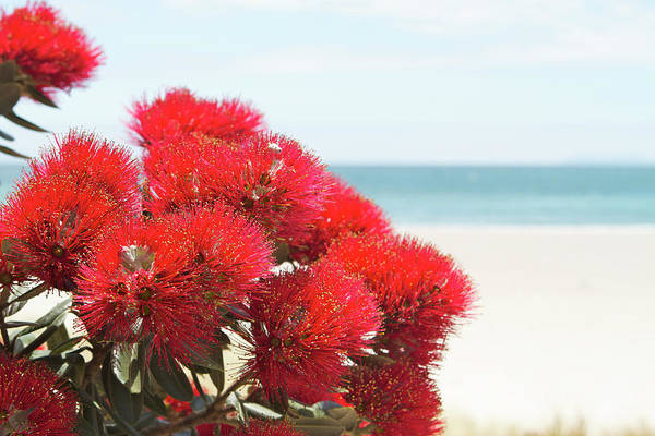 Wall Art - Photograph - Pohutukawa Flowers Over Beach by Peterjseager