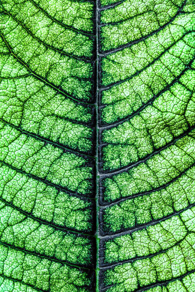 Botanical Photograph - Poinsetta Leaf In Abstract Macro by Tom Mc Nemar