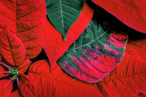 Wall Art - Photograph - Poinsettia Caught In The Act by Tom Mc Nemar