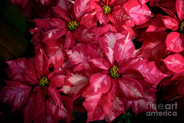 Photograph - Poinsettia  by Debra Fedchin