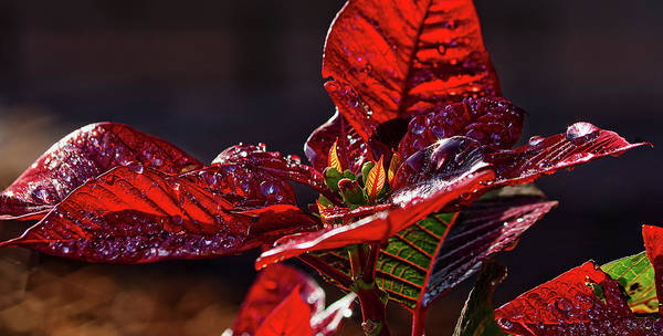 Wall Art - Photograph - Poinsettia II by Richard Rizzo