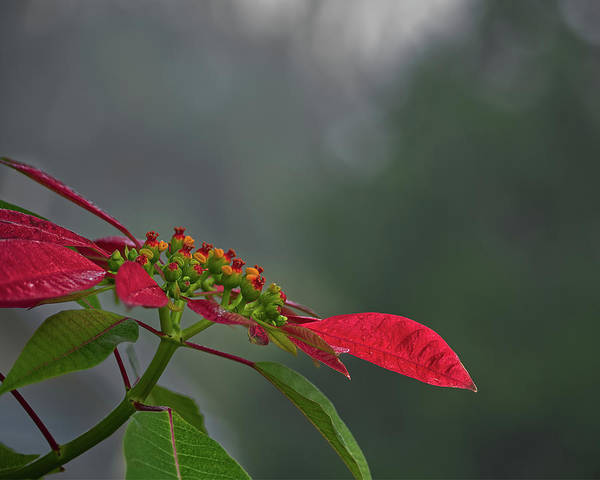 Wall Art - Photograph - Poinsettia by Richard Rizzo