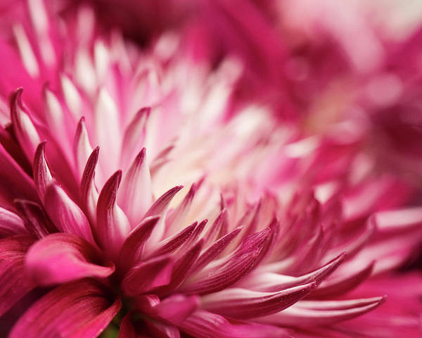 Petal Photograph - Poised Petals by Jody Trappe Photography