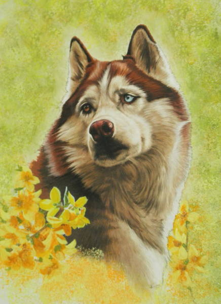 Purebred Mixed Media - Poised Siberian Husky by Barbara Keith
