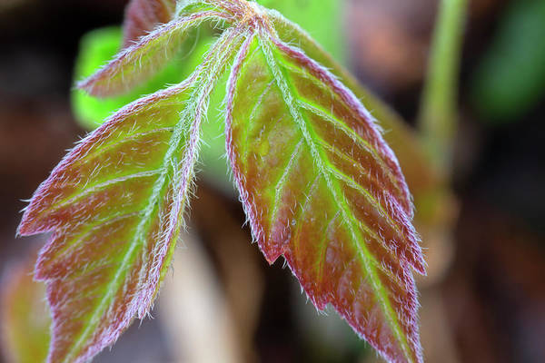 Photograph - Poison Ivy Early Spring 5061901 by Rick Veldman
