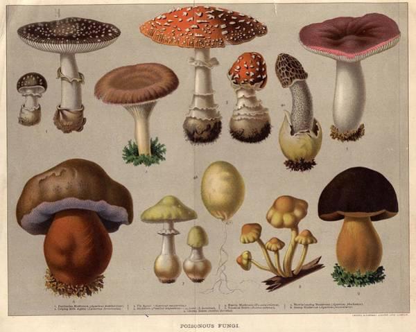 Wall Art - Digital Art - Poisonous Fungi by Hulton Archive
