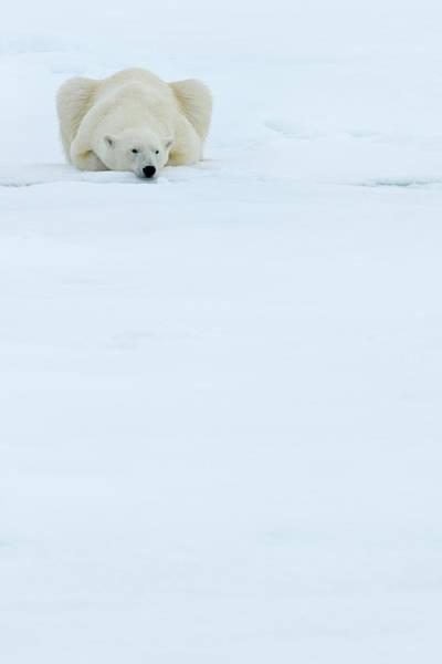 Wall Art - Photograph - Polar Bear by Andy Rouse