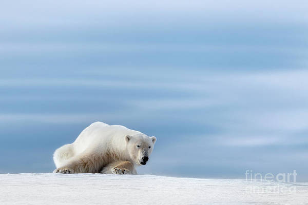 Wall Art - Photograph - Polar Bear Crouching On The Frozen Snow Of Svalbard by Jane Rix
