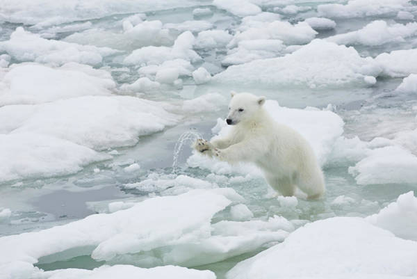 Vitality Photograph - Polar Bear Cub Jumping From Ice Flow To by Darrell Gulin