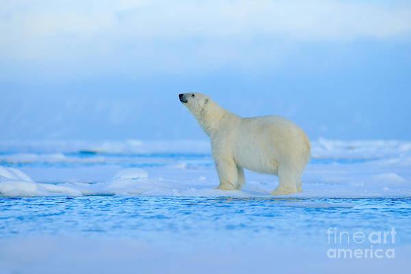 Europa Wall Art - Photograph - Polar Bear, Dangerous Looking Beast On by Ondrej Prosicky