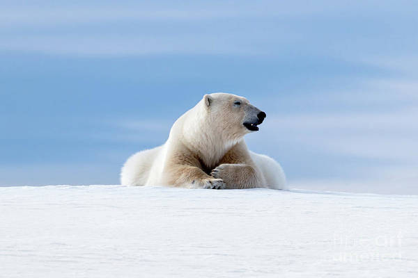 Wall Art - Photograph - Polar Bear Laying On The Frozon Snow Of Svalbard by Jane Rix
