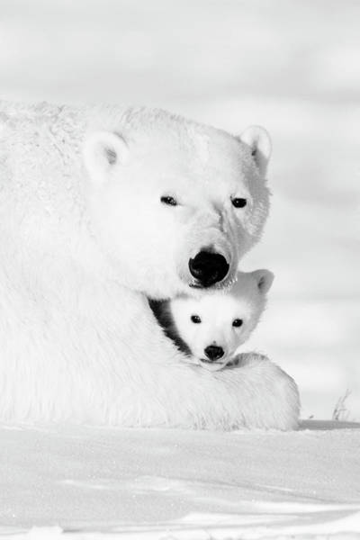 Wall Art - Photograph - Polar Bear Mother And Cub by Anna Henly
