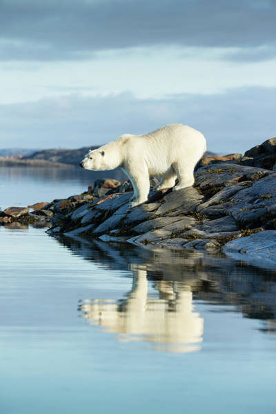 Wall Art - Photograph - Polar Bear On Hudson Bay, Nunavut by Paul Souders