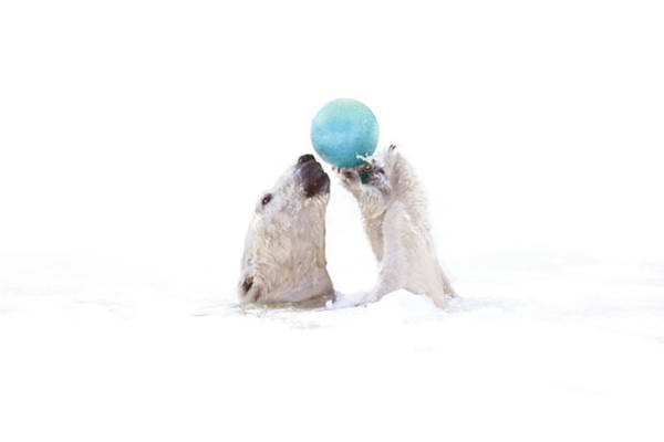 Ball Photograph - Polar Bear Playing With Earth-like Ball by Michael Duva