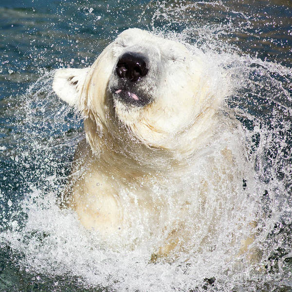 Photograph - Polar Bear Shaking Off Water by Edward Fielding