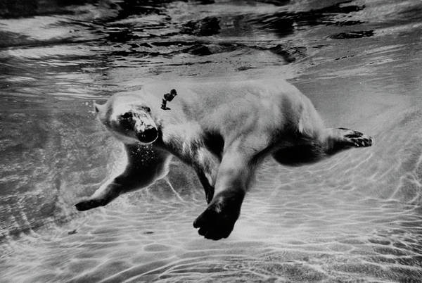 Underwater Photograph - Polar Bear Swimming Underwater At London by Terence Spencer