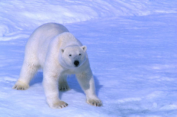 Wall Art - Photograph - Polar Bear Thalarctos Maritimus by Nicholas Reuss