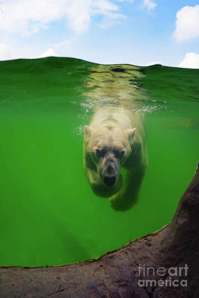 Photograph - Polar Bear Underwater by Angela Doelling AD DESIGN Photo and PhotoArt