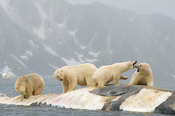 Polar Bear Ursus Maritimus Group Art Print