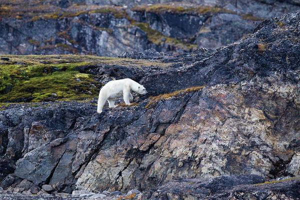 Hunting Island Wall Art - Photograph - Polar Bear Ursus Maritimus On Land by Mark Smith