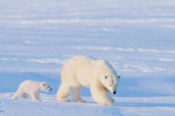 Born In The Usa Photograph - Polar Bear Ursus Maritimus Sow With by Danita Delimont