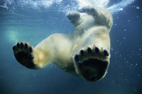 Underwater Photograph - Polar Bear Ursus Maritimus Underwater by Stuart & Michele Westmorland