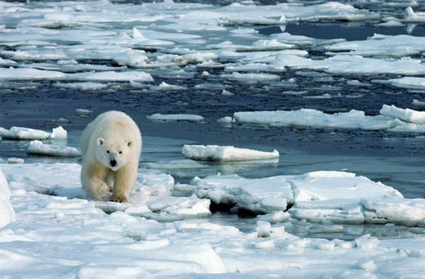 On The Move Photograph - Polar Bear Walking On Open Ice Floes by Stephen J. Krasemann