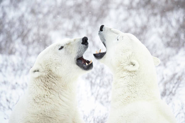 Body Parts Photograph - Polar Bears Playing In The Snow by Chris Hendrickson