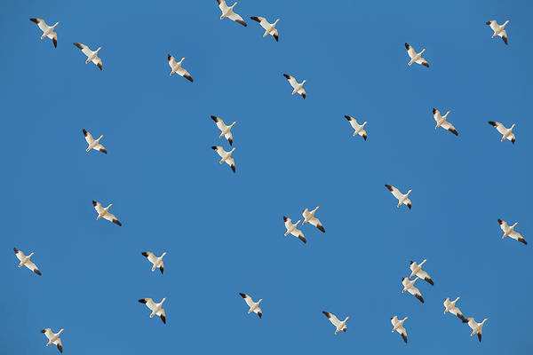 Wall Art - Photograph - Polka Geese by Todd Klassy