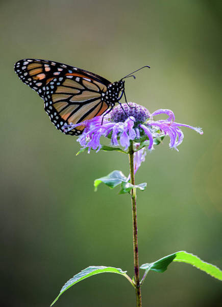 Photograph - Pollinating Monarch Butterfly by Dale Kincaid