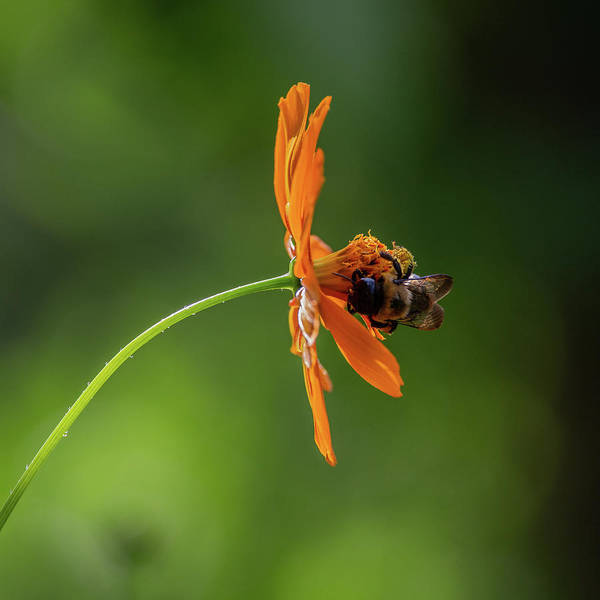 Photograph - Pollinating The Cosmos by Dale Kincaid