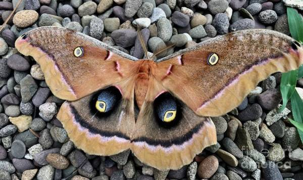 Wall Art - Photograph - Polyphemus Silk Male Moth by Jeffrey Koss