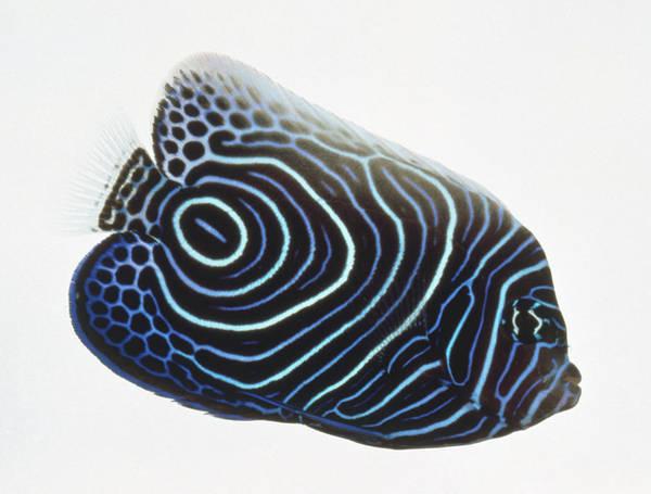 Fish Tank Photograph - Pomacanthus Imperator, Emperor by Jane Burton
