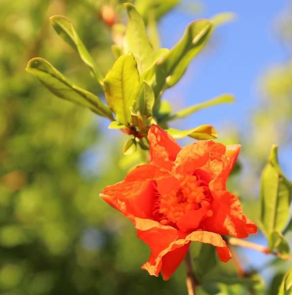 Photograph - Pomegranate Flower by Sagittarius Viking