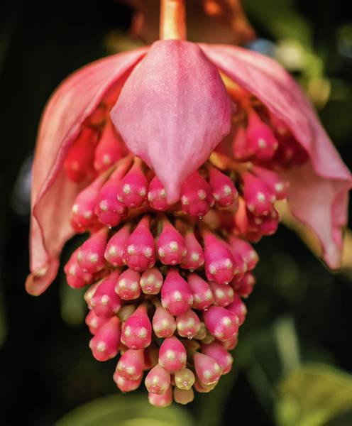 Pomegranate Flower Art Print