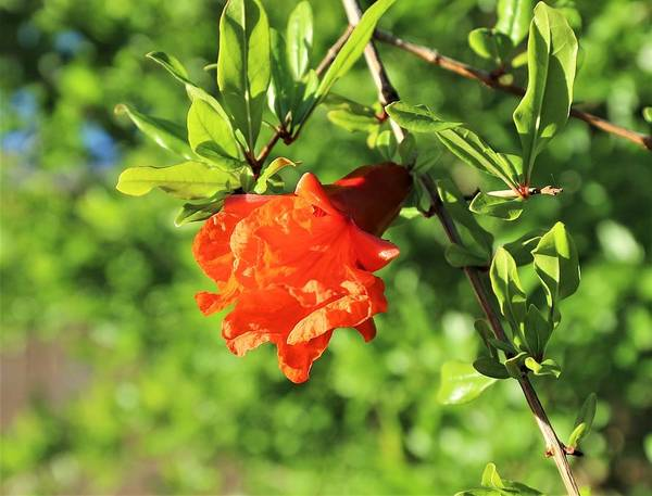 Photograph - Pomegranate by Sagittarius Viking