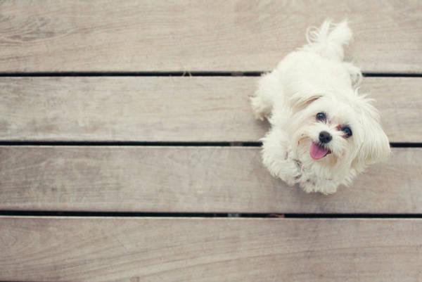 Lap Dog Photograph - Pomeranian Dog by Noviembre Anita Vela