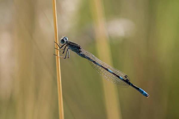 Photograph - Pond Damselfly On Alert by Robert Potts
