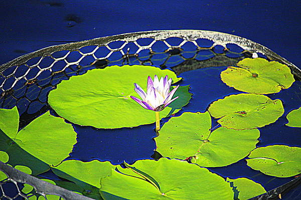 Photograph - Pond Flower And Pads by Cynthia Guinn
