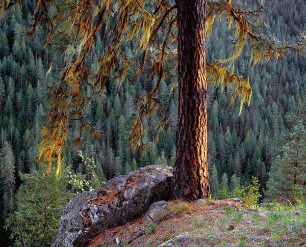 Photograph - Ponderosa Pine by Leland D Howard