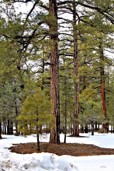 Canyon Mixed Media - Ponderosa Pines by G Berry
