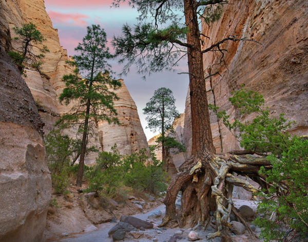 Wall Art - Photograph - Ponderosa Pines In Slot Canyon by Tim Fitzharris