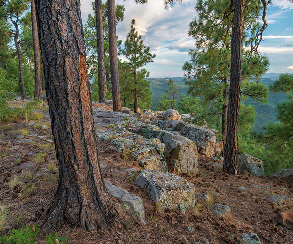 Photograph - Ponderosa Pines, Mogollon Rim, Mazatzal by