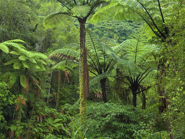 New Leaf Photograph - Ponga Trees And Native Bush, New Zealand by Eastcott Momatiuk